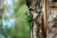 This gorgeous knight anole was found in Fort Myers, Florida clinging to a melaleuca tree, and was the second I had seen in this area. These highly aggressive and largest of Florida's anoles are native to Cuba and have spread into South Florida. Anolis