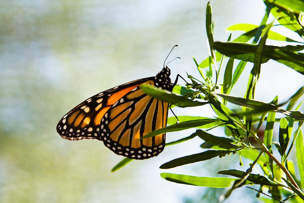 A Monarch Butterfly perched on a tree, Phoenix, Arizona, USA.