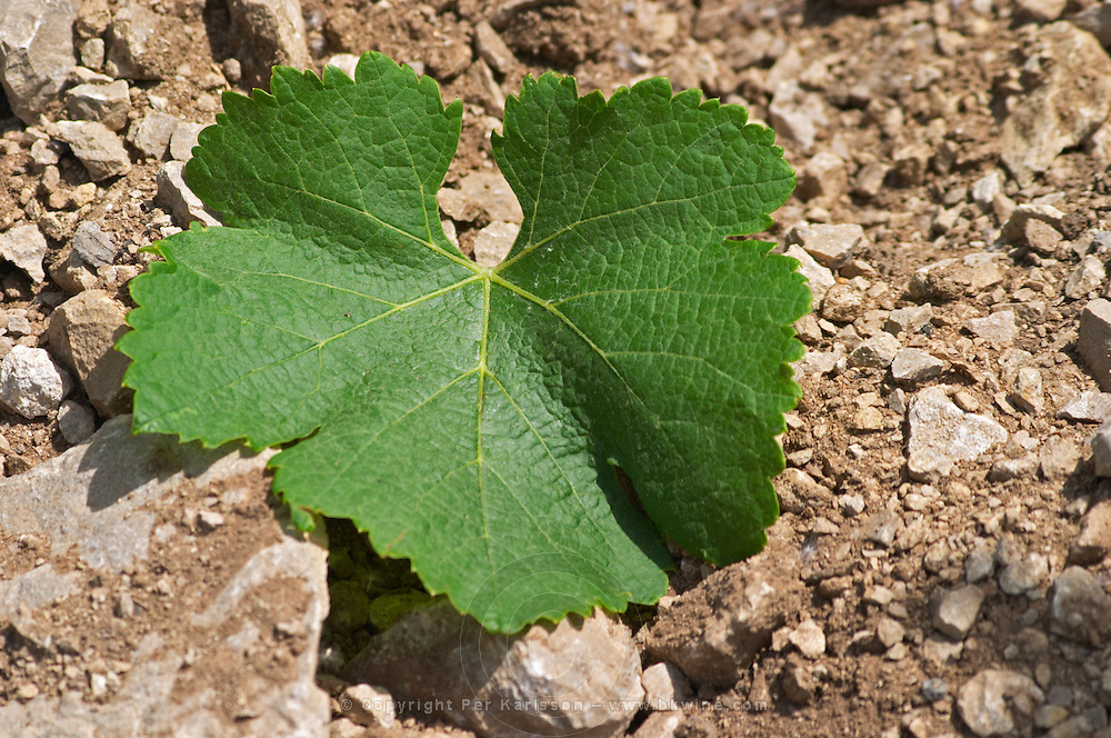 Domaine Cazeneuve in Lauret. Pic St Loup. Languedoc. Vine leaves. Sandy and calcareous rock soil. Syrah vine variety. France. Europe. Sand. Calcareous limestone.