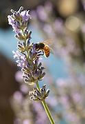 Bee on lavender next to Japanese Garden, Saffron Fields, Willamette Valley, Oregon