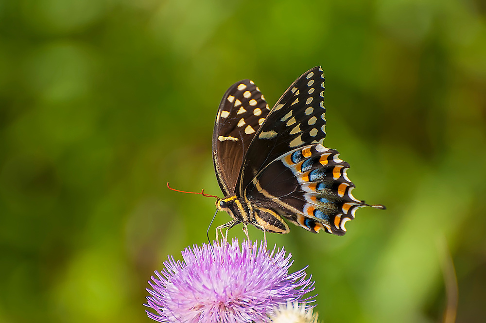 This near-perfect example of a Palamedes swallowtail was photographed deep in the Shark River region of the Florida Everglades. Found from coastal Virginia to Eastern Texas it is found throughout all of Florida.