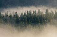 Trees emerging from clearing morning fog, Hope Valley, El Dorado National Forest, Alpine County, California