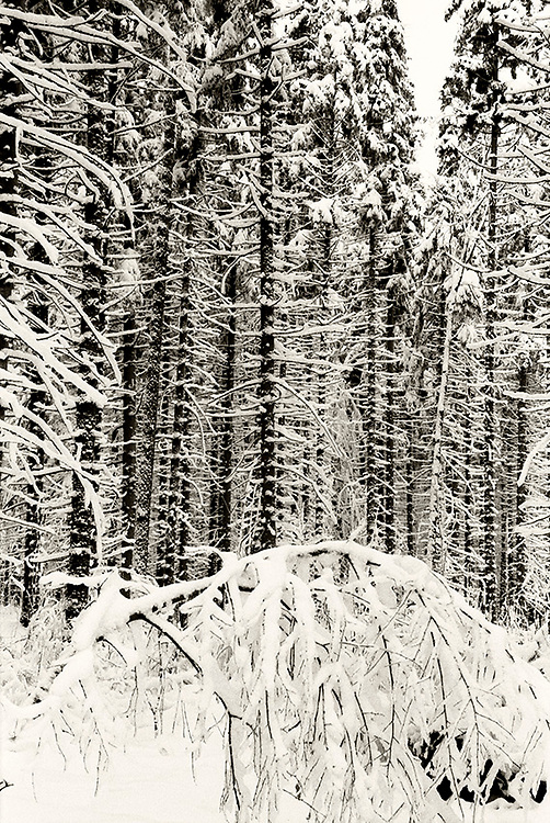 Forest in winter in Karkonosze, Poland