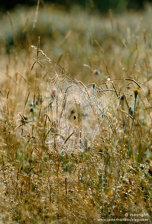 Cobweb in the meadow on a dewy autumn morning at Great Dixter
