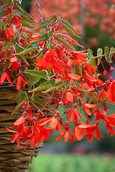 Begonia 'Firestorm'