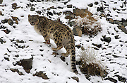 Adult male snow leopard (unica unica) ascends rocky and snowy slope in Ladakh.