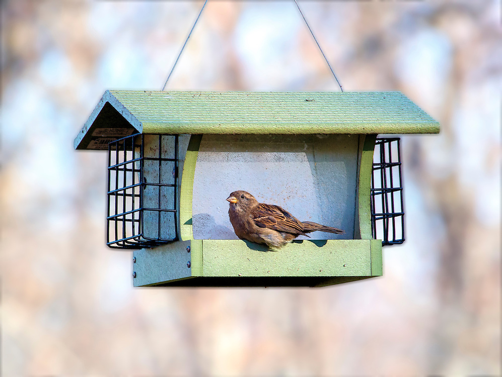 A Sparrow Waits For The Feeder To Be Filled