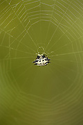 White Crablike Spiny Orb Weaver Spider on web