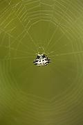 White Crablike Spiny Orb Weaver Spider on web