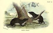 Water-Shrew (Crossopus fodiens) From the book ' A hand-book to the British mammalia ' by  Richard Lydekker, 1849-1915  Published in London, by Edward Lloyd in 1896