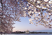 The moon hangs in the sky over the Jefferson Memorial framed by cherry blossoms, Tidal Basin, Washington D.C., U.S.A.