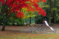 Fall foliage from a Japanese Maple (Acer japonica) and Bigleaf Maples (Acer macrophyllum) at the playground in Williams Park - Langley, British Columbia, Canada