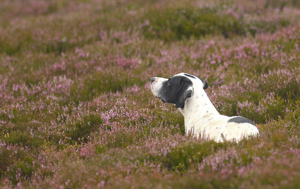 A Pointer at Glen Lethnot estate points at a Grouse in the build up  to the Glorious 12th, the official start of the red grouse shooting season (this year Monday 13th August)  ANGUS, SCOTLAND AUG 10 ..The Glorious Twelfth is usually used to refer to August 12, the start of the open season for grouse shooting in the United Kingdom. This is one of the busiest days in the shooting season, with large amounts of game being shot. It is also a major boost to the rural economy. ..Since the start of the season traditionally does not begin on a Sunday, it is sometimes postponed to August 13, as in 2001 . In recent years, the event has been hit by hunt saboteurs, the 2001 foot and mouth crisis (which further postponed the date in affected areas ) and the effect of sheep tick and the gut parasite Trichostrongylus tenius...The Game Conservancy Trust conducts scientific research into Britain's game and wildlife. Advising farmers and landowners on improving wildlife habitat and lobbying for agricultural and conservation policies based on science..Many of their  supporters take part in field sports.