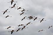 Africa, Tanzania, Serengeti National Park, a flock of Greater flamingos (Phoenicopterus ruber) in flight