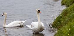THEMENBILD - mehrere Höckerschwäne an einem verregneten Tag auf einer Badewiese, aufgenommen am 23. Mai 2015 am Zeller See, Zell am See, Österreich // a few Mute Swans on a rainy Day at the Lake Zell, Zell am See, Austria on 2015/05/23. EXPA Pictures © 2015, PhotoCredit: EXPA/ JFK