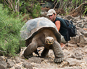 The Galápagos giant tortoise (Chelonoidis nigra, formerly Geochelone elephantopus) is bred at the Charles Darwin Research Station (CDRS, operated by the Charles Darwin Foundation) in Puerto Ayora on Santa Cruz Island, Galápagos islands, Ecuador, South America. This species is the largest living tortoise and is native to seven islands of the Galápagos archipelago. Fully grown adults can weigh over 300 kilograms (661 lb) and measure 1.5 meters (5 feet) over the curve of the shell. They are long-lived with a life expectancy of up to 100-150 years in the wild. Populations fell dramatically because of hunting and the introduction of predators and grazers by humans since the 1600s. Only ten subspecies of the original twelve exist in the wild. Since Galápagos National Park and the Charles Darwin Foundation were established, hundreds of captive-bred juveniles have been released back onto their home islands.