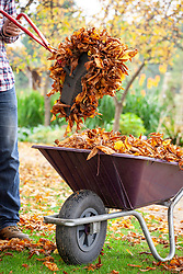 Collecting autumn leaves from a lawn using a plastic hand grabber and putting them in a wheelbarrow