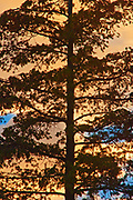 Lodgepole pine (Ponderosa  s contorta) Redstreak campground, Kootenay National Park, British Columbia, Canada