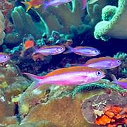 Magenta Slender Anthias inhabit reefs, often in large schools. Picture taken Fiji.