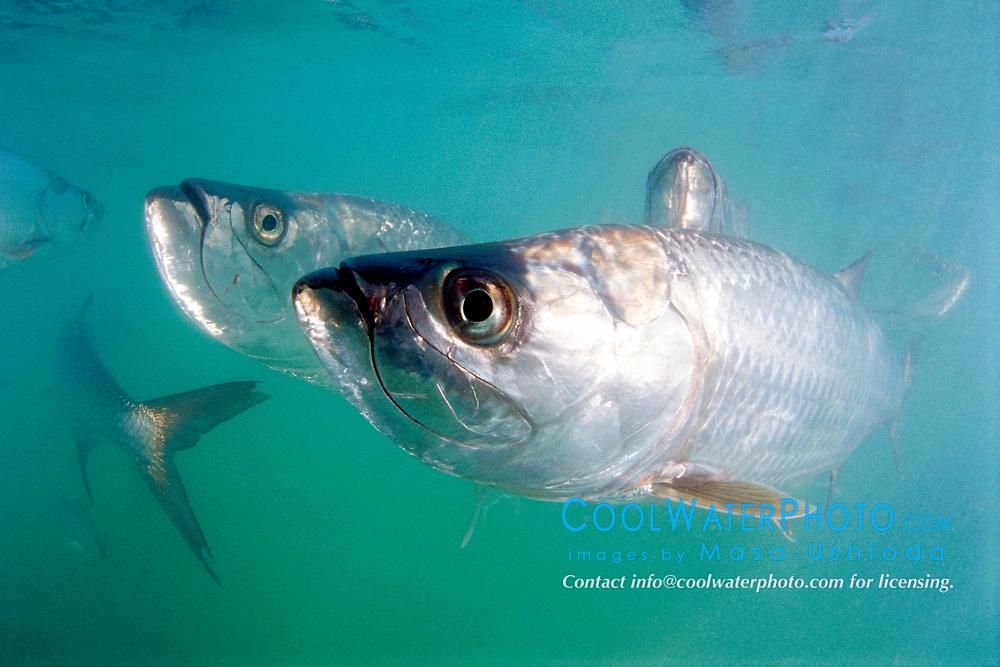 tarpons, Megalops atlanticus, Islamorada, Florida Keys National Marine Sanctuary, Atlantic Ocean