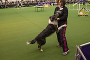 New York, NY - 8 February 2014. Slider, an Australian Shepherd, jumps onto handler Debbie Merwin after finishing the agility trials at the Westminster Kennel Club dog show