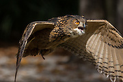 Eurasian Eagle Owl inflight at the Center for Birds of Prey November 15, 2015 in Awendaw, SC.