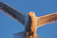 Herring gull, Larus argentatus, in the Midnight sun, Flatanger, Norway. August 2008.