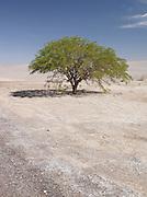A loan tree in the Atacama desert, Chile