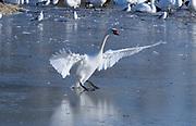 Mute Swan (Cygnus olor) walking on ice, wings outstretched, Slimbridge, UK.