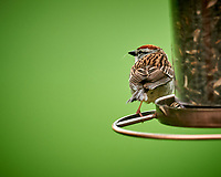 Chipping Sparrow. Image taken with a Nikon D810a camera and 600 mm f/4 VR lens