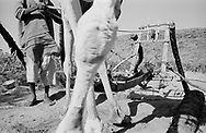 NIGER. Amdigra. 17/01/1987: Traditional way of retrieving water through animal traction.