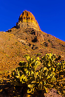 Prickly Pear Cactus with Cerro Castellan (Castolon Peak) in background, Chihuahuan Desert, along Ross Maxwell Scenic Drive in Big Bend National Park, Texas USA.