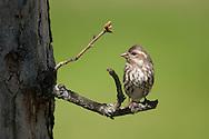 Female Purple Finch on tree branch in NY