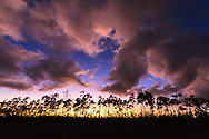 A line of slash pine trees is silhouetted against the western sky at sunset in the Long Pine Key section of Everglades National Park, Florida.<br /> <br /> WATERMARKS WILL NOT APPEAR ON PRINTS OR LICENSED IMAGES.<br /> <br /> Licensing: https://tandemstock.com/assets/23495994