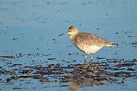 A willet works its way around the tidal pools of Eagle Harbor at low tide on a cold winter day on the Florida Panhandle.