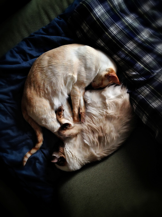 Wide, overhead shot of two Siamese cats sleeping, legs entwined.