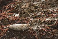 Harbor seal, Phoca vitulina, basking on rocks near Mendocino, California