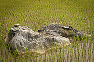 A large rock sits in the middle of a rice paddy, Sapa area, Lao Cai Province, Northern Vietnam, Southeast Asia.