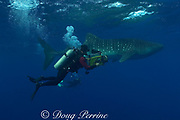 Howard Hall films whale shark, Rhincodon typus, <br /> Gladden Spit & Silk Cayes Marine Reserve, off Placencia, <br /> Belize, Central America ( Caribbean Sea ) No MR