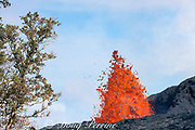 lava from Kilauea Volcano erupts from a fissure near some native Hawaiian ohia lehua trees, Metrosideros polymorpha, an endemic and threatened species, on Pohoiki Road, near Pahoa, Puna District, Hawaii Island ( the Big Island ), Hawaii, U.S.A.; Hawaiian legend says that the fire goddess Pele, in a fit of rage, turned a handsome warrior named Ohia into a tree when he spurned her advances in favor of another. The gods then turned his lover Lehua into the blossoms on the tree so that they could be together.