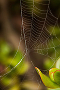 Web draped around and from the ice plant