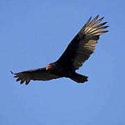 Turkey Vulture, (Cathartes aura) In flight. California.