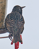 European Starling (Sturnus vulgaris). Image taken with a Leica SL2 camera and 90-280 mm lens.