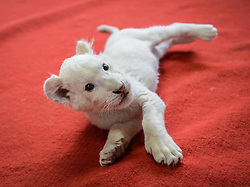 61406134<br /> A two-month-old white lion playing in a nursery at a wildlife park in Hangzhou, capital of east China s Zhejiang Province, April 21, 2014. The white lion cub was born in Hangzhou in February. As its mother refused to feed the cub, a dog was brought here by staff members as its wet nurse,  Monday, 21st April 2014. Picture by  imago / i-Images<br /> UK ONLY