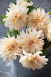 Cut flowers of Dahlia 'Café au Lait' conditioning in a galvanised bucket