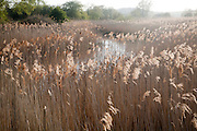Reed beds on the River Alde, Snape, Suffolk, England