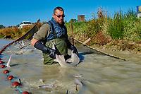 France, Loire-et-Cher (41), Caviar de Sologne, pisciculture Hennequart, pêche des esturgeons baeri // France, Loire-et-Cher (41), Caviar of Sologne, pisciculture Hennequart, sturgeon fishing