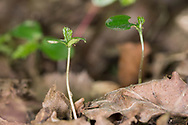 Hornbean seedlings - Carpinus betulus, Stoke Woods, Bicester, Oxfordshire owned by the Woodland Trust