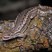 These lizards are diurnal, and are commonly seen sunning on paths, rocks, and fence posts, and other high places. Washington, USA