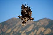 Golden Eagle Aquila chrysaetos, in flight Colorado, foothills near Denver, hunts mammals and birds from the air, bird of prey, found mountainous areas, talons  beak bill, flying  . .